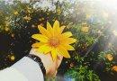 Tour du lịch chụp ảnh lên Ba Vì ngắm hoa Dã Quỳ
